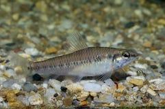 Characid fish Stock Image