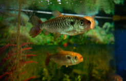 Characin - fish tales Stock Photo