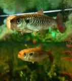 Characin - fish tales Stock Photos