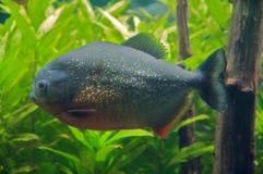 Characins Fish Royalty Free Stock Photography