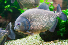 Characins Fish Stock Image