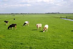 Characteristic Dutch polder landscape, meadows & cows,Netherlands  Royalty Free Stock Photo