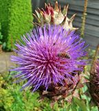 The characteristic purple haired flower head of a Cardoon flower Royalty Free Stock Image