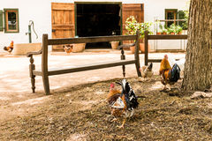 Characteristic rural landscape. Showing cocks, hens, a pumping well, plants and an open barn Stock Image