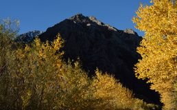 Aspens in Inyo National Forest, Sierra Nevada Range, California 3 Royalty Free Stock Images