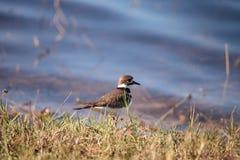 Charadrius de la ave costera del tipo de tero norteamericano vociferante en un pantano imagen de archivo