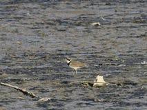 Charadrius dubiusï ¼ ˆacademic nameï ¼ ‰ op de rand van het meer Stock Afbeelding