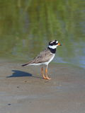 Charadrius hiaticula. Ringed Plover standing on sandy shore Royalty Free Stock Images