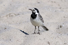 Charadrius hiaticula. White Wagtail close up in Siberia Royalty Free Stock Photo
