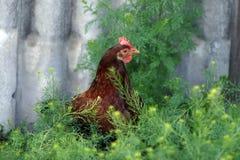 charakterów rozochoconych kurczaka Easter rodzinnych powitań szczęśliwa ilustracyjna pocztówka symbolizuje Fotografia Royalty Free
