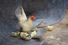 charakterów rozochoconych kurczaka Easter rodzinnych powitań szczęśliwa ilustracyjna pocztówka symbolizuje Obraz Royalty Free