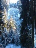charakter leśna zimy słońca Zdjęcia Royalty Free