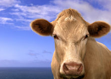Charalay Ochse in dem Meer Lizenzfreies Stockfoto
