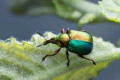 Charançon coloré de feuille-roulement, Attelabidae sur la feuille photo libre de droits
