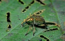 Charançon de scarabée Photo libre de droits