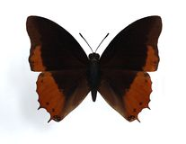 Charaxes anticlea. On the white background Stock Photography