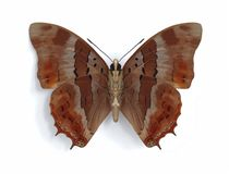 Charaxes anticlea (underside). On the white background Stock Images