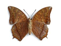 Charaxes bernardus (male) (underside). On the white background Royalty Free Stock Photography