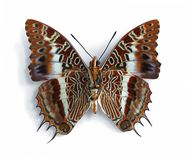 Charaxes brutus andara (underside). On the white background Stock Images