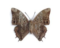 Charaxes etheocles carpenteri (male) (underside). On the white background Stock Images