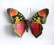 Charaxes Fournierae Fournierae一只美丽的巨型蝴蝶 库存图片