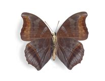 Charaxes laodice (underside). On the white background Royalty Free Stock Photography