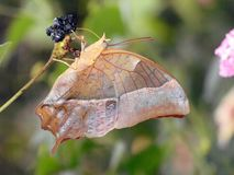 Charaxes Protoclea蝴蝶飞过闭合哺养 库存图片