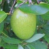 Charca Apple Imagenes de archivo