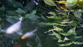 Charca con Koi Fish almacen de video