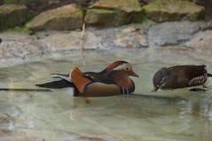 Charca con la natación de los patos fotos de archivo