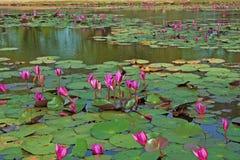 Charca con los lotos rosados florecientes Foto de archivo