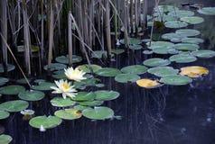 Charca con los waterlilies en parásito imagenes de archivo