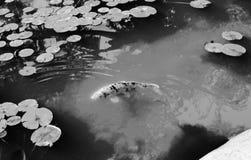 Charca de Koi Foto de archivo libre de regalías