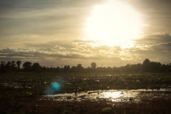 Charca de Lotus con la puesta del sol Fotos de archivo