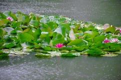 Charca de Lotus con lluvia Foto de archivo libre de regalías