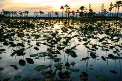 Charca de Lotus en crepúsculo Imagen de archivo libre de regalías