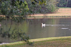Charca del pato Fotografía de archivo