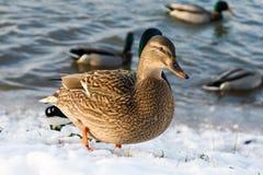 Charca del pato del parque del invierno Imagenes de archivo
