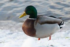 Charca del pato del parque del invierno Fotos de archivo libres de regalías
