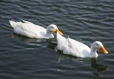 Charca del pato foto de archivo libre de regalías