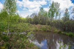 Charca en un bosque del abedul en verano Fotos de archivo libres de regalías