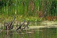 Charca pantanosa. Foto de archivo libre de regalías