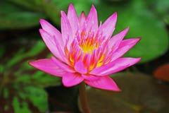 Charca rosada de Lily Pink Lotus In The del agua Fotos de archivo