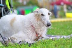 Charcica bielu pies kłama na spojrzeniach przy kamerą w górę i trawie fotografia stock