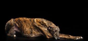 Charcica pies Odizolowywający na Czarnym tle obrazy royalty free