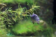 Charco Palma Pupfish royalty-vrije stock afbeelding