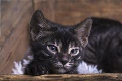 Charcoal bengal kitten close-up stock photo
