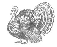 Charcoal sketch of a turkey Stock Photography