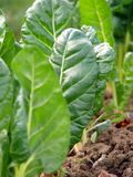 Chard vegetables. Closeup of leafy green chard vegetables growing outdoors stock image