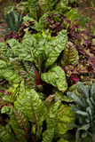Chard and cabbage Royalty Free Stock Photos